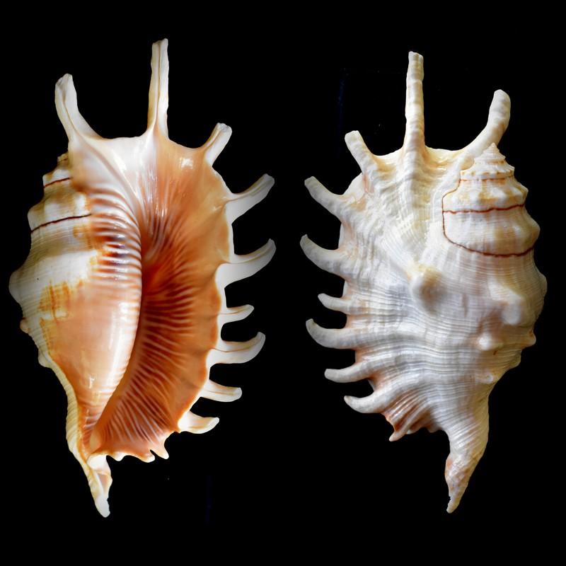 Lambis millepeda - (Linnaeus, 1758) 2021-025