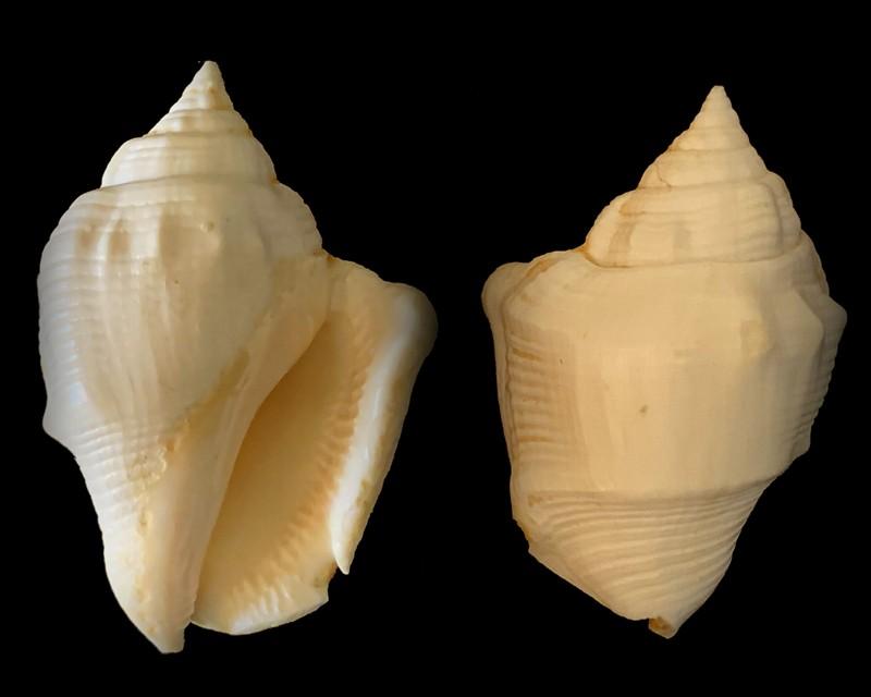 Strombidae - † Striatostrombus blanci (Tröndlé & Salvat, 2010) Niau (Polynésie Française) Pleistocene 2021-027
