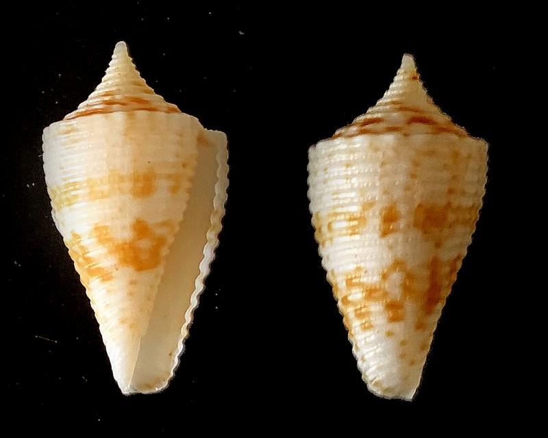 Conus (Phasmoconus) habui  2021-030