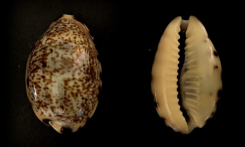Melicerona felina fabula - (Kiener, 1843) 2021-040