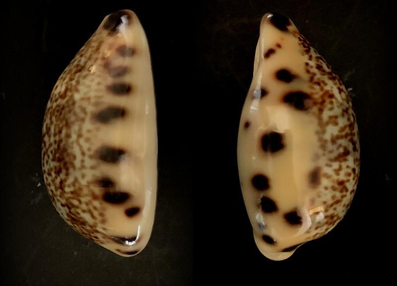 Melicerona felina fabula - (Kiener, 1843) 2021-041