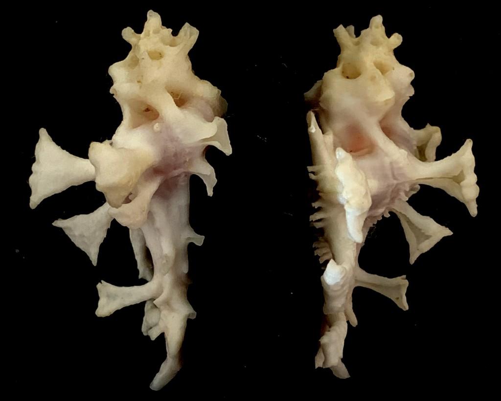 Homalocantha zamboi - Burch & Burch, 1960 2021-118