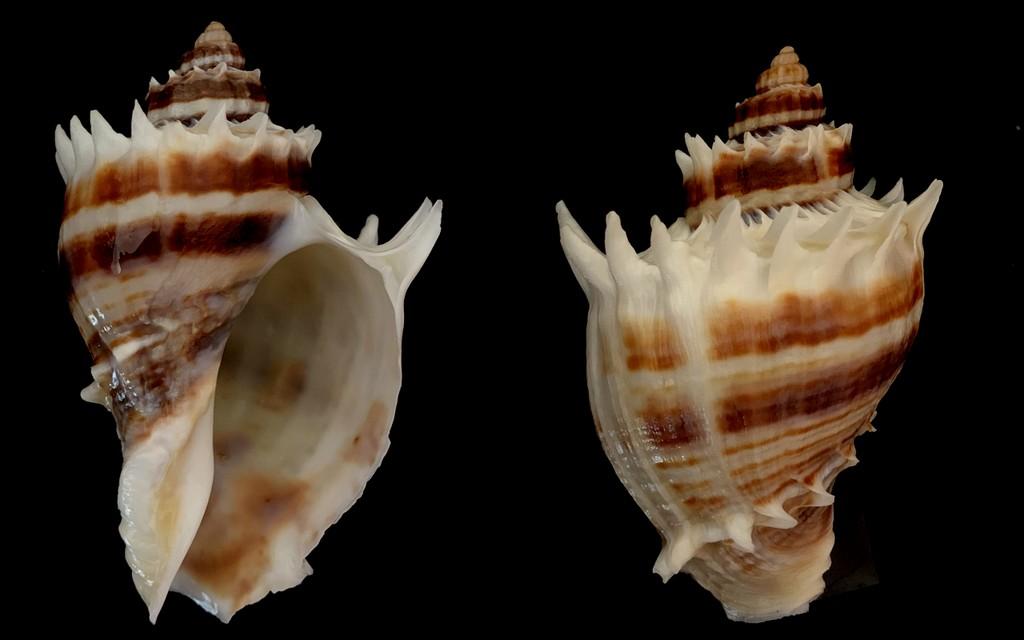 Melongena corona - (Gmelin, 1791) 2021-139
