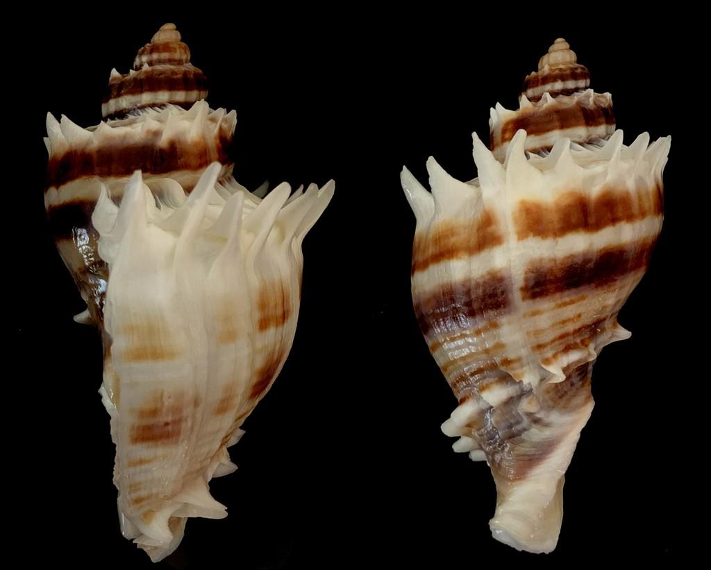 Melongena corona - (Gmelin, 1791) 2021-141