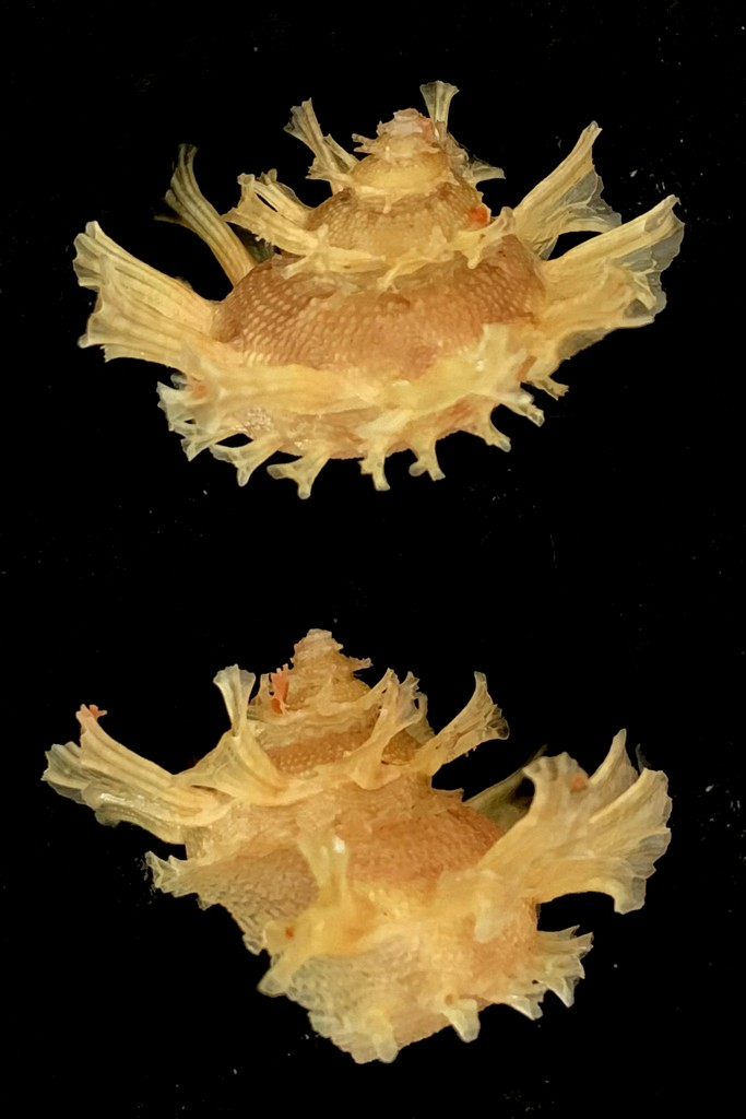Bolma girgyllus - (Reeve, 1861) 2021-142
