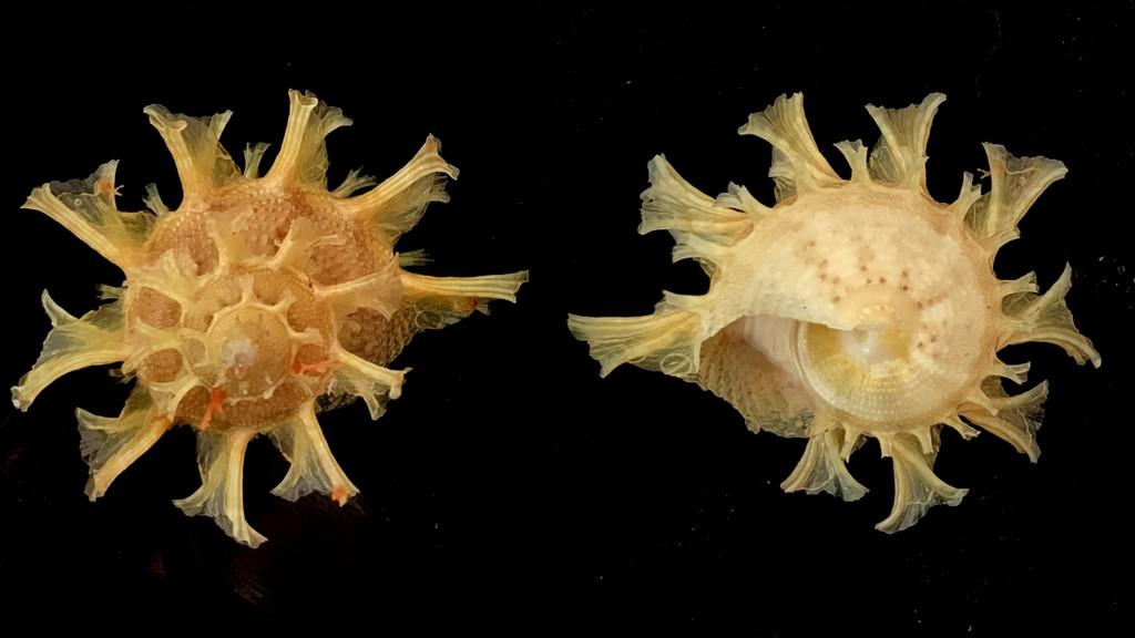 Bolma girgyllus - (Reeve, 1861) 2021-143