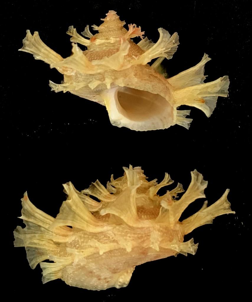 Bolma girgyllus - (Reeve, 1861) 2021-144