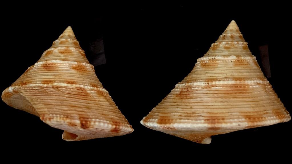 Calliostoma formosense - E. A. Smith, 1907 2021-148
