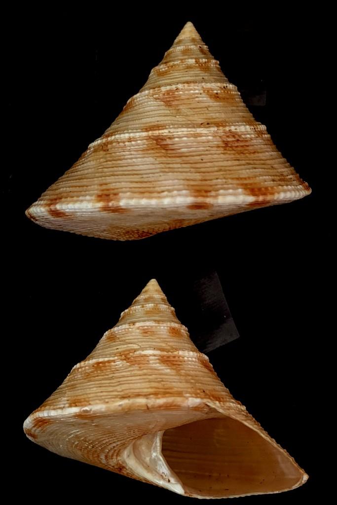 Calliostoma formosense - E. A. Smith, 1907 2021-149