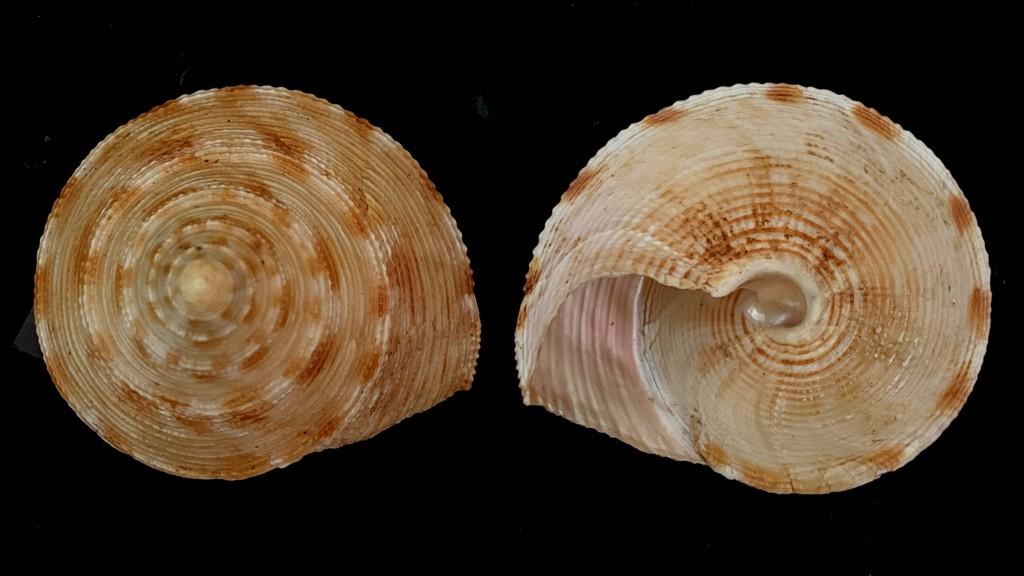 Calliostoma formosense - E. A. Smith, 1907 2021-150