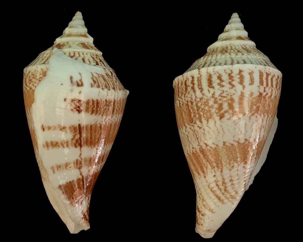 Margistrombus marginatus - (Linnaeus, 1758) 2021-153