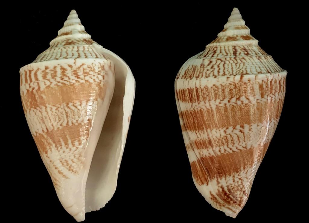 Margistrombus marginatus - (Linnaeus, 1758) 2021-154
