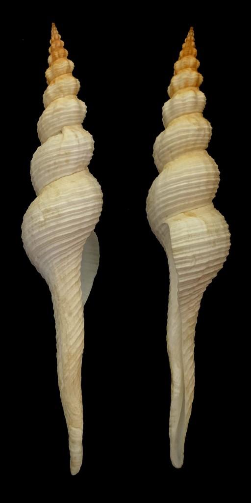 Fusinus colus - (Linnaeus, 1758) 2021-158
