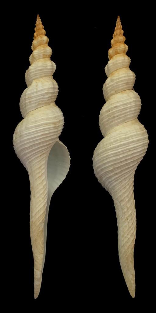 Fusinus colus - (Linnaeus, 1758) 2021-159
