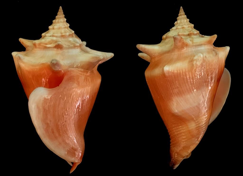 Strombus pugilis - (Linnaeus, 1758) - Page 2 2021-164