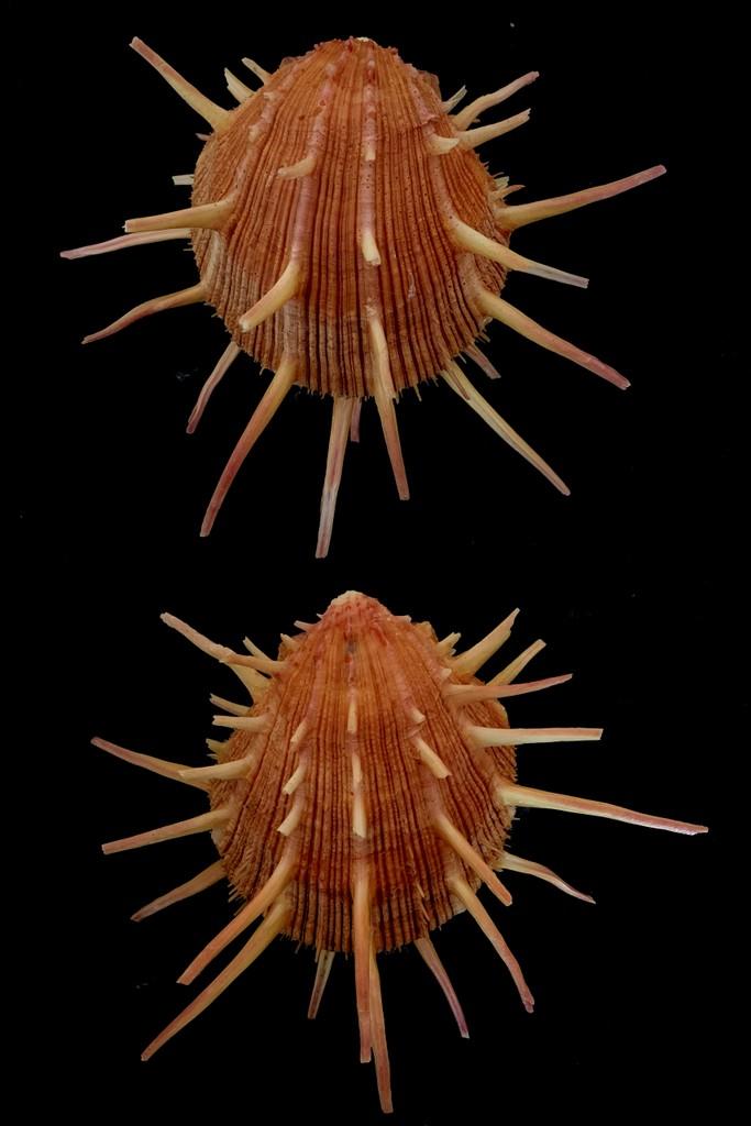 Spondylus regius - Linnaeus 1758 2021-188