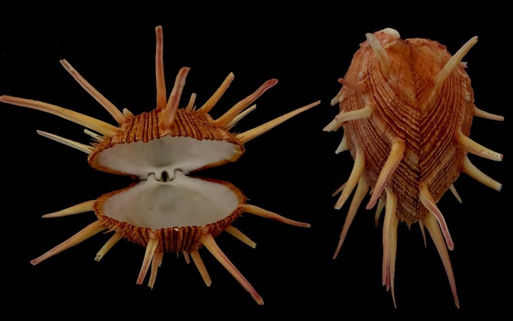 Spondylus regius - Linnaeus 1758 2021-189