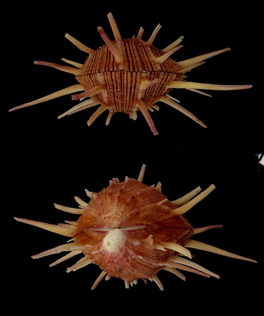 Spondylus regius - Linnaeus 1758 2021-190