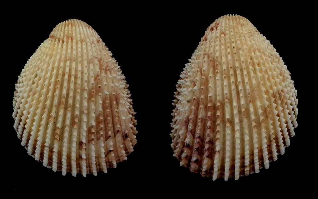 Trachycardium isocardia - (Linnaeus, 1758)  2021-196