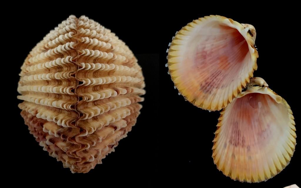 Trachycardium isocardia - (Linnaeus, 1758)  2021-197