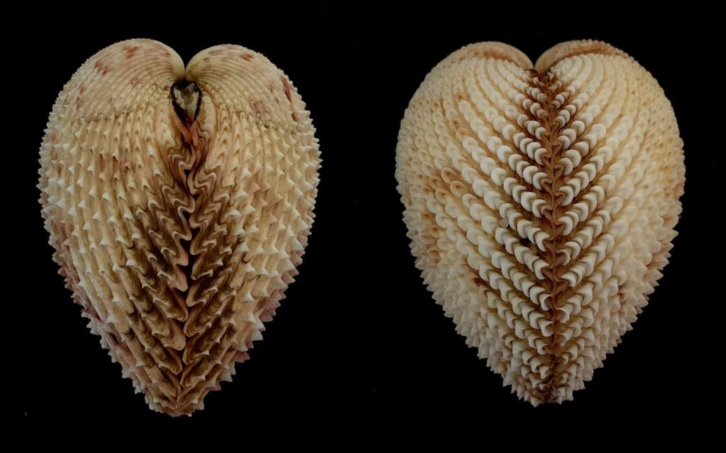 Trachycardium isocardia - (Linnaeus, 1758)  2021-198