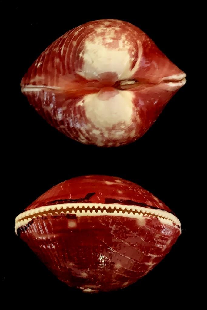 Lyrocardium lyratum - (G. B. Sowerby II, 1840)  2021-200