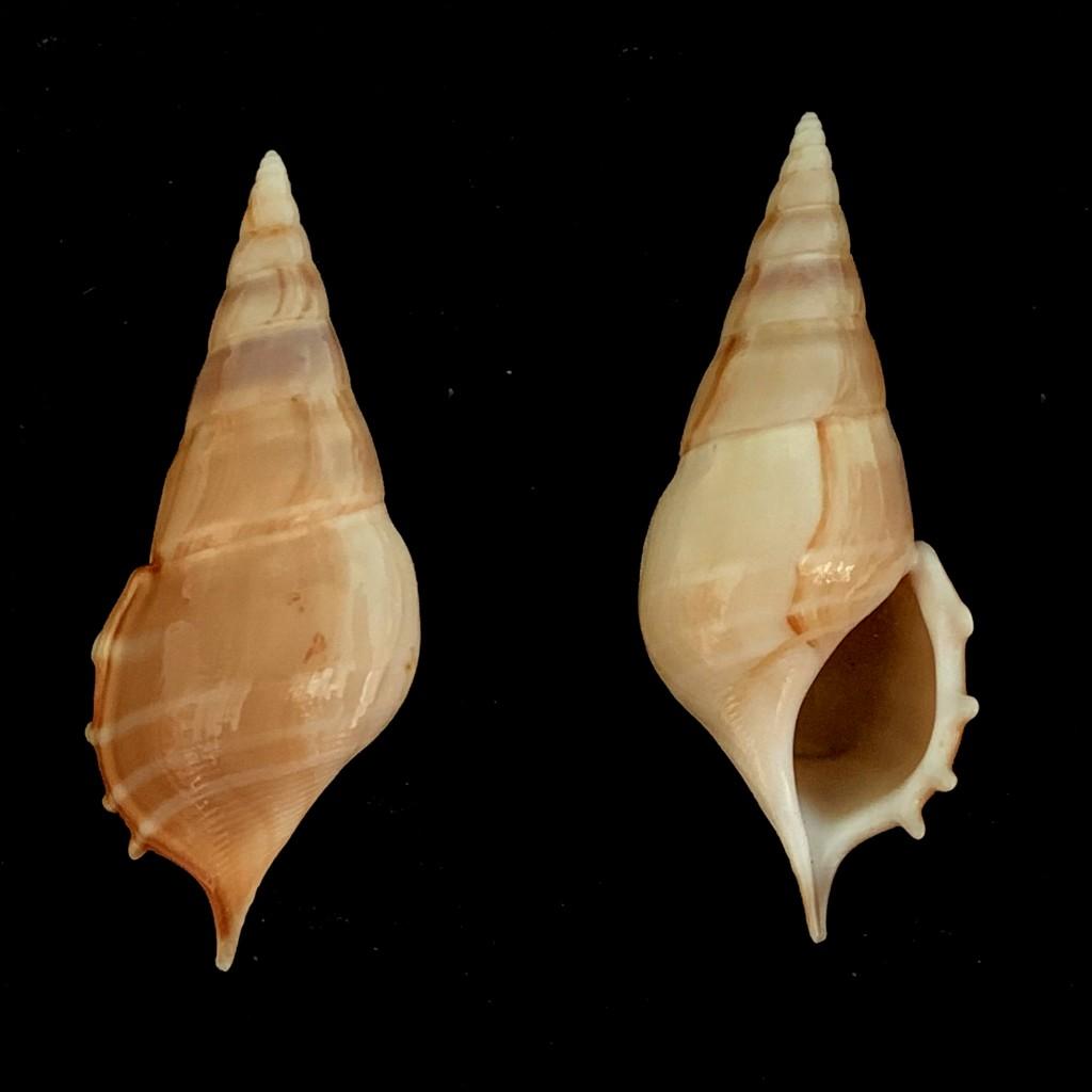 Rostellariella delicatula - (G. Nevill, 1881) 2021-205