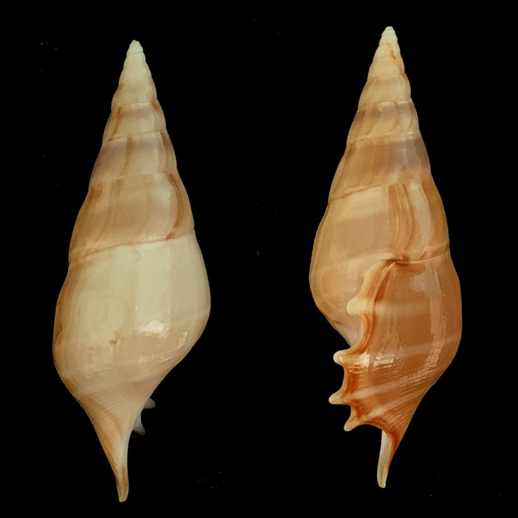 Rostellariella delicatula - (G. Nevill, 1881) 2021-206