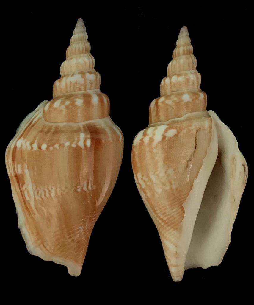 Doxander vittatus - (Linnaeus, 1758) 2021-207