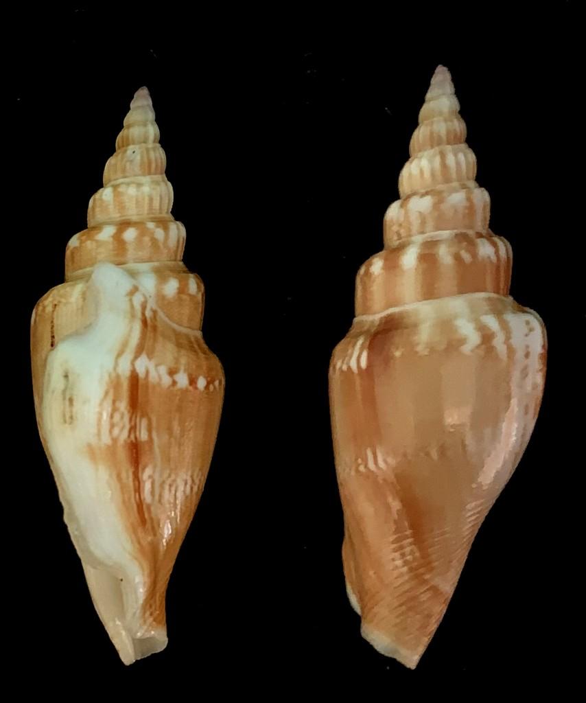 Doxander vittatus - (Linnaeus, 1758) 2021-209
