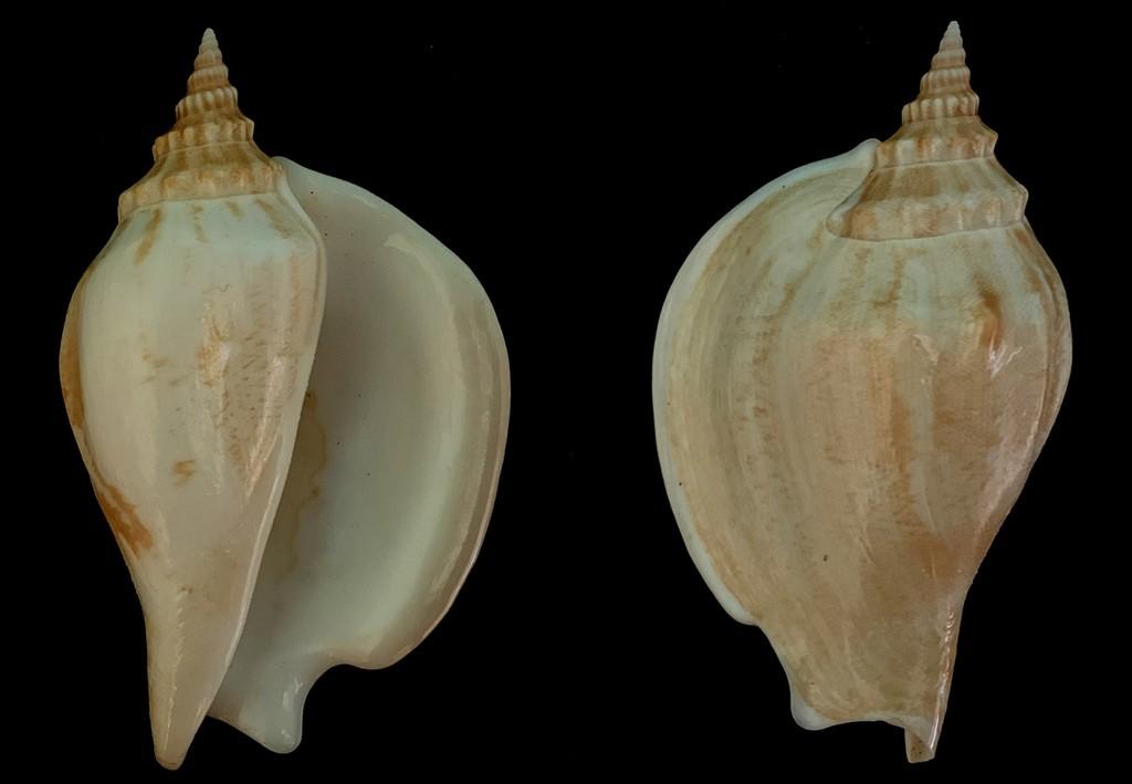 Strombidae Labiostrombus epidromis - (Linnaeus, 1758) 2021-212