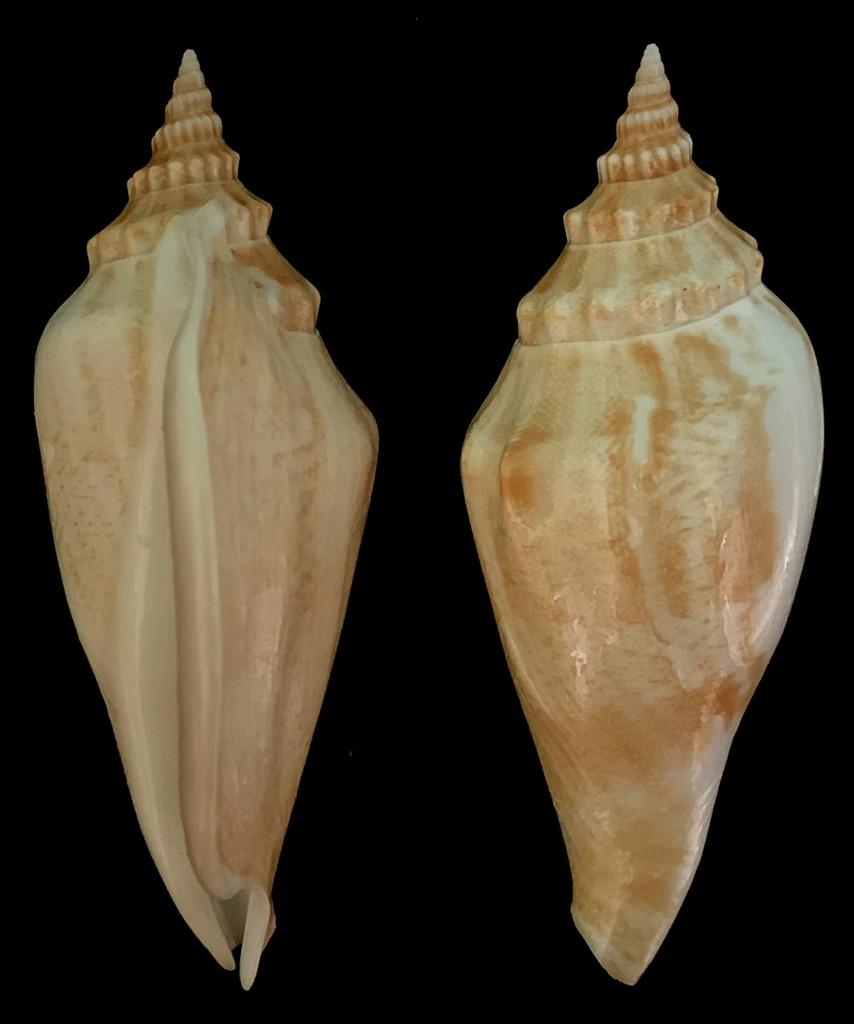 Strombidae Labiostrombus epidromis - (Linnaeus, 1758) 2021-213