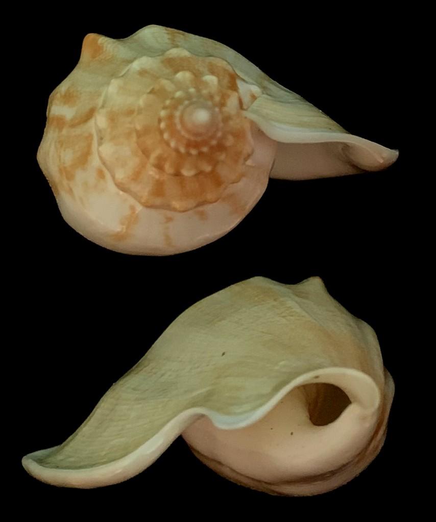 Strombidae Labiostrombus epidromis - (Linnaeus, 1758) 2021-214