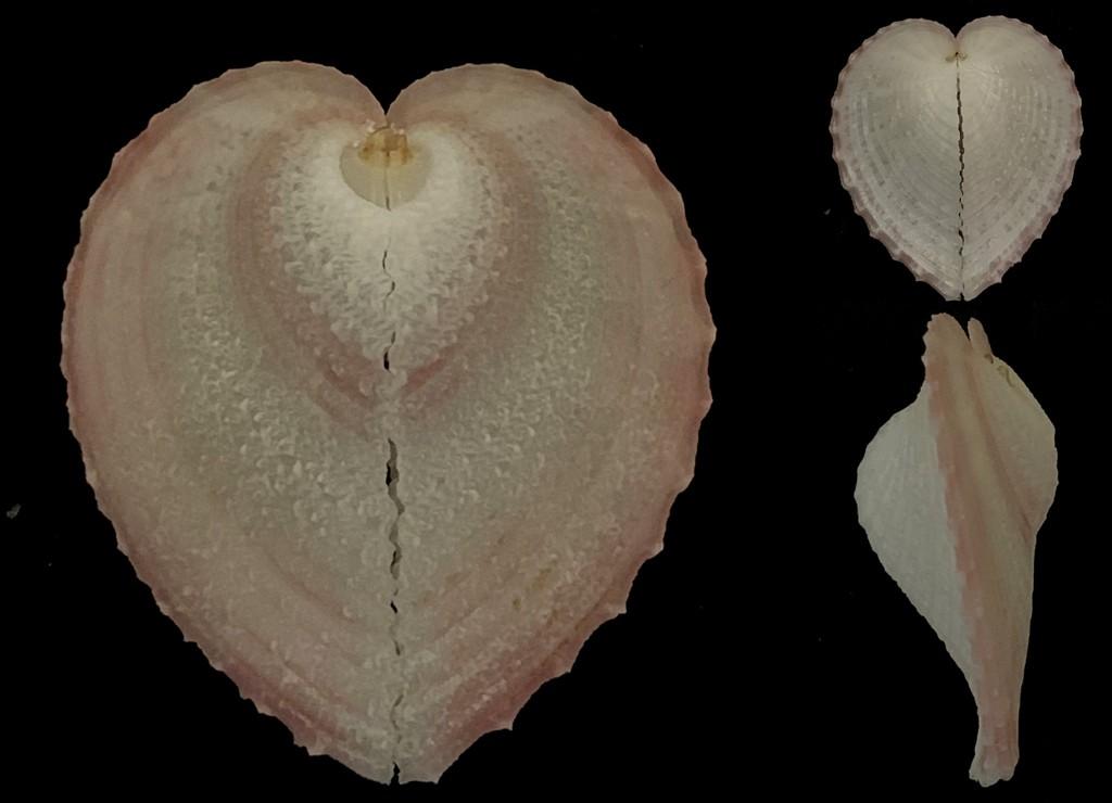 Corculum cardissa - (Linnaeus, 1758)  2021-215