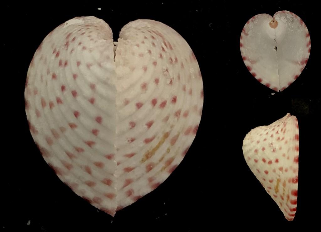 Corculum cardissa - (Linnaeus, 1758)  2021-216