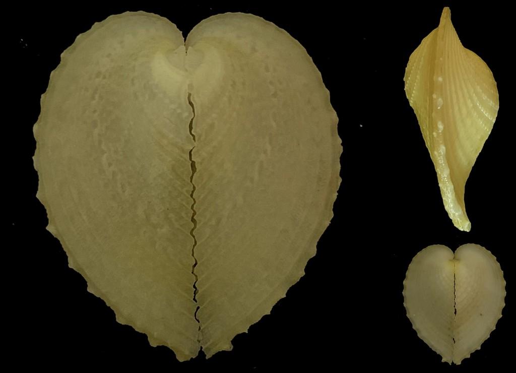 Corculum cardissa - (Linnaeus, 1758)  2021-217