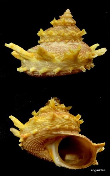 Bolma girgyllus (Reeve, 1861) Autre110