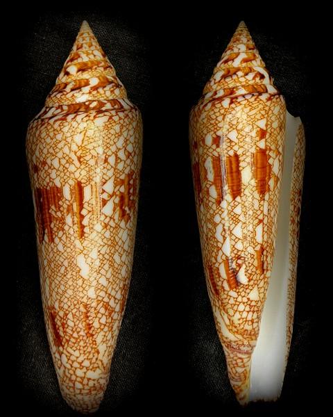 Conus (Cylinder) bengalensis   Okutani, 1968 - Page 3 Bengal10