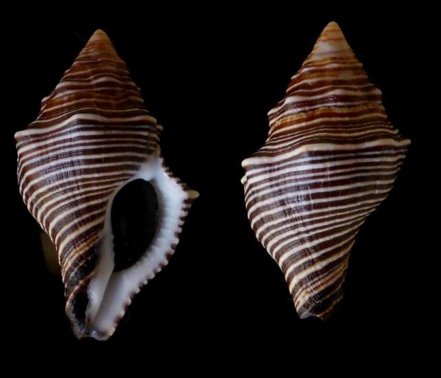 Latirus amplustre - (Dillwyn, 1817)  Bureau10