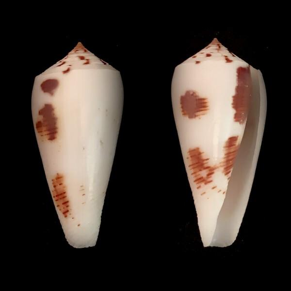 Conus_magus_Linnaeus, 1758 Cones_10