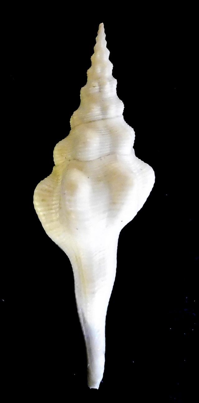 Fusinus undatus - (Gmelin, 1791) Cyrtul10