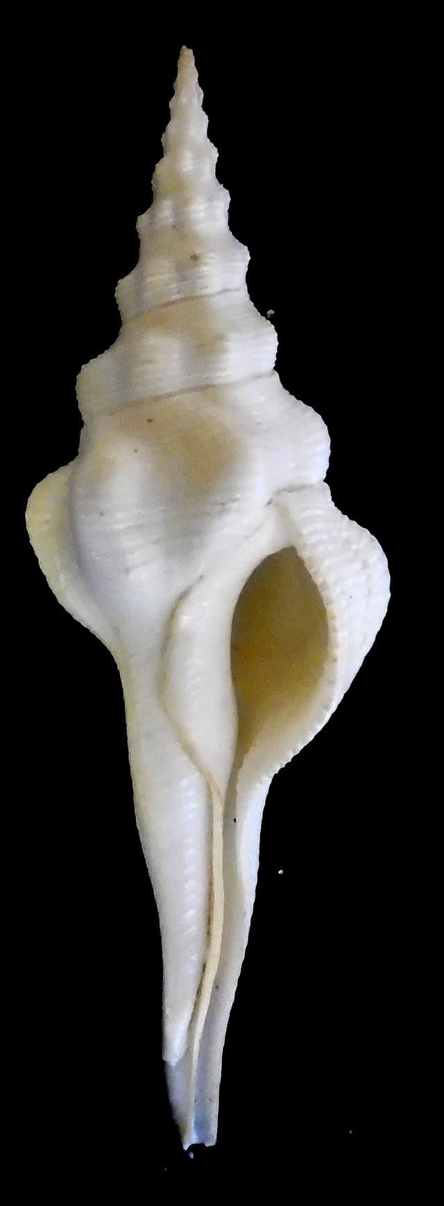 Fusinus undatus - (Gmelin, 1791) Cyrtul11