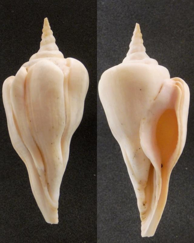 Fusinus serotinus - (Hinds, 1843) Fascio10