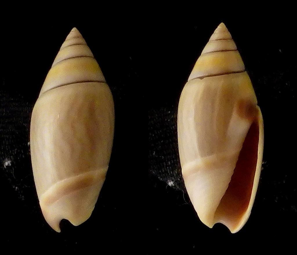 Olivella volutella (Lamarck, 1811) ou Lamprodoma volutella (Lamarck, 1811) - Page 2 Olivid10