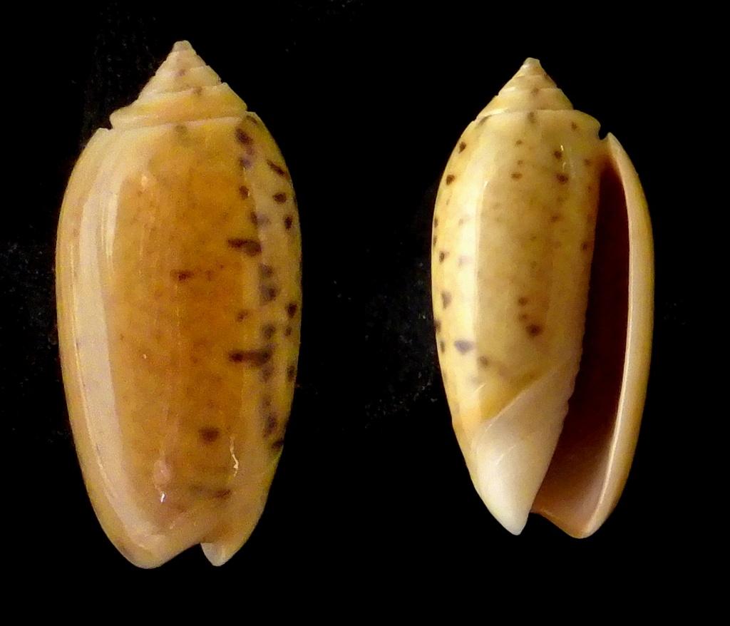Oliva oliva (Oliva) Linnaeus, 1758 Olivid12