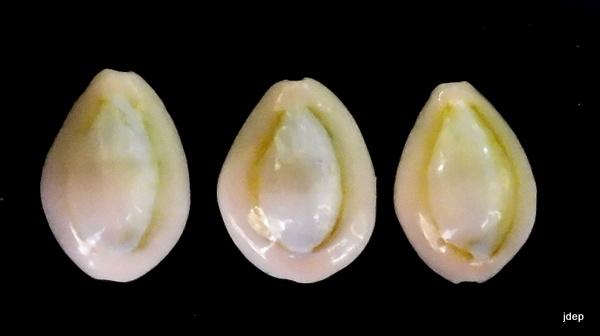 Monetaria annulus f. dilatissimus voir Monetaria annulus f. dilatissima (Lorenz, 2017) P1000810