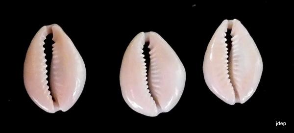 Monetaria annulus f. dilatissimus voir Monetaria annulus f. dilatissima (Lorenz, 2017) P1000811