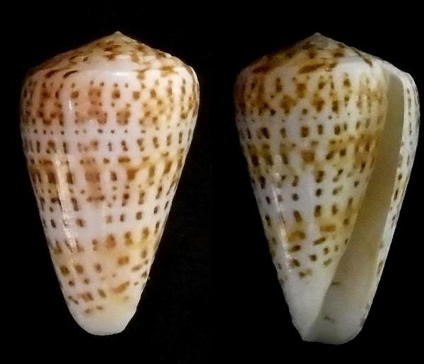 Conus_pulcher [Lightfoot], 1786 Pour_p13