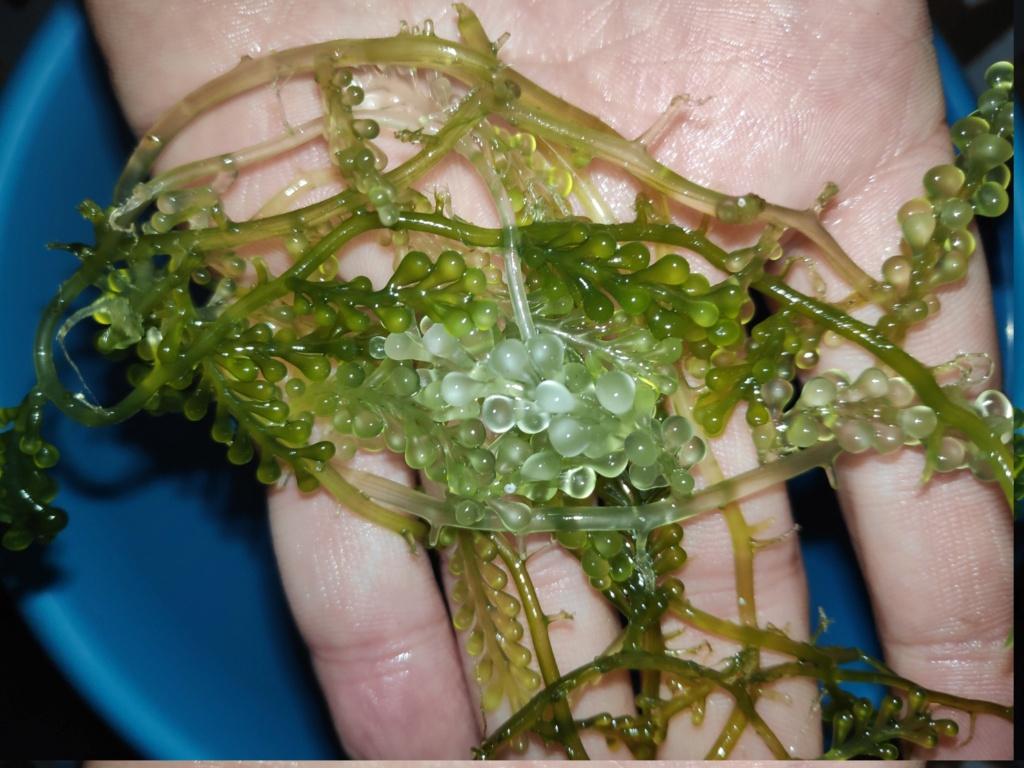 Algues dans refuge Algues10
