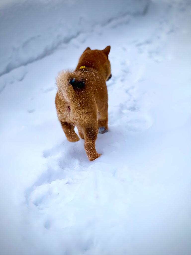 Щенки от пары AKATSUKI YUKA и KEIKO, потомков лучшей собаки Японии, удостоенной звания ИЧИБАН 2010, рожденные 27.11.2020г.  1b983e10